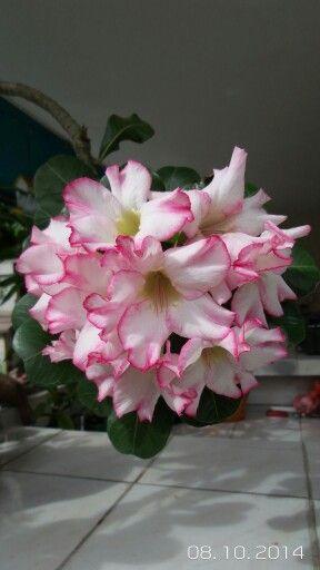 Rosa del desierto.