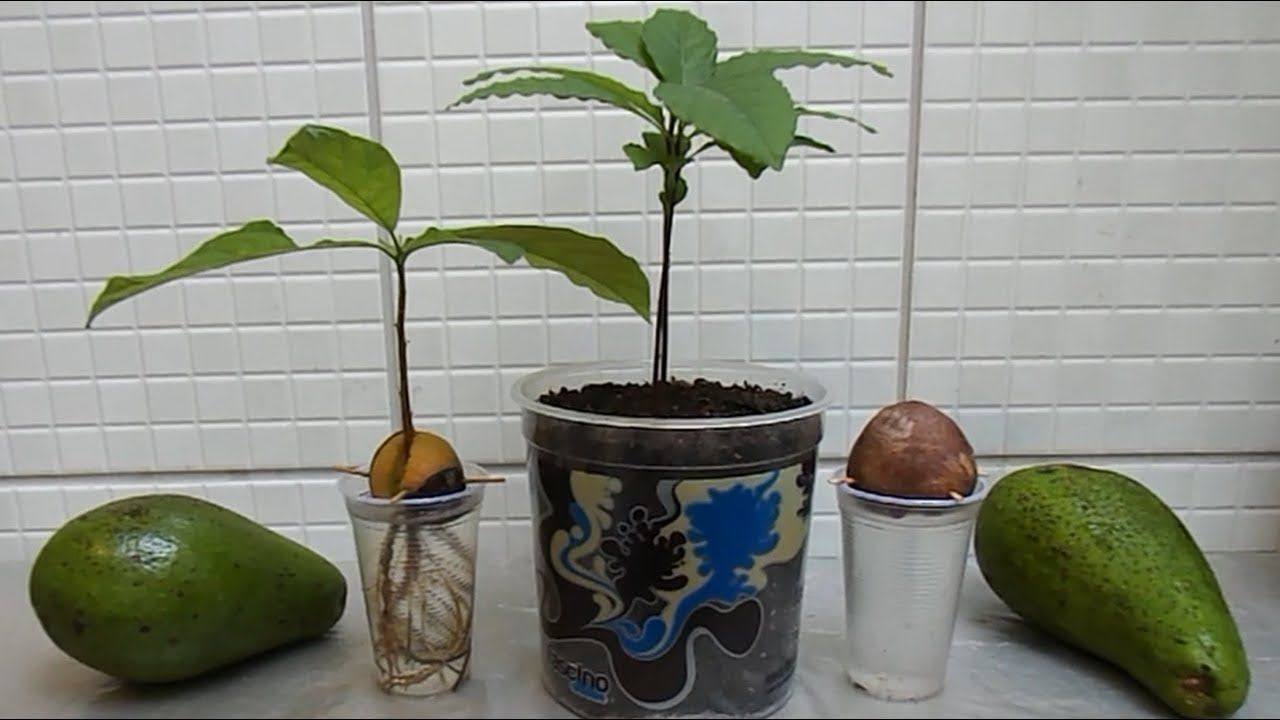 How to grow avocado tree from seed step by step