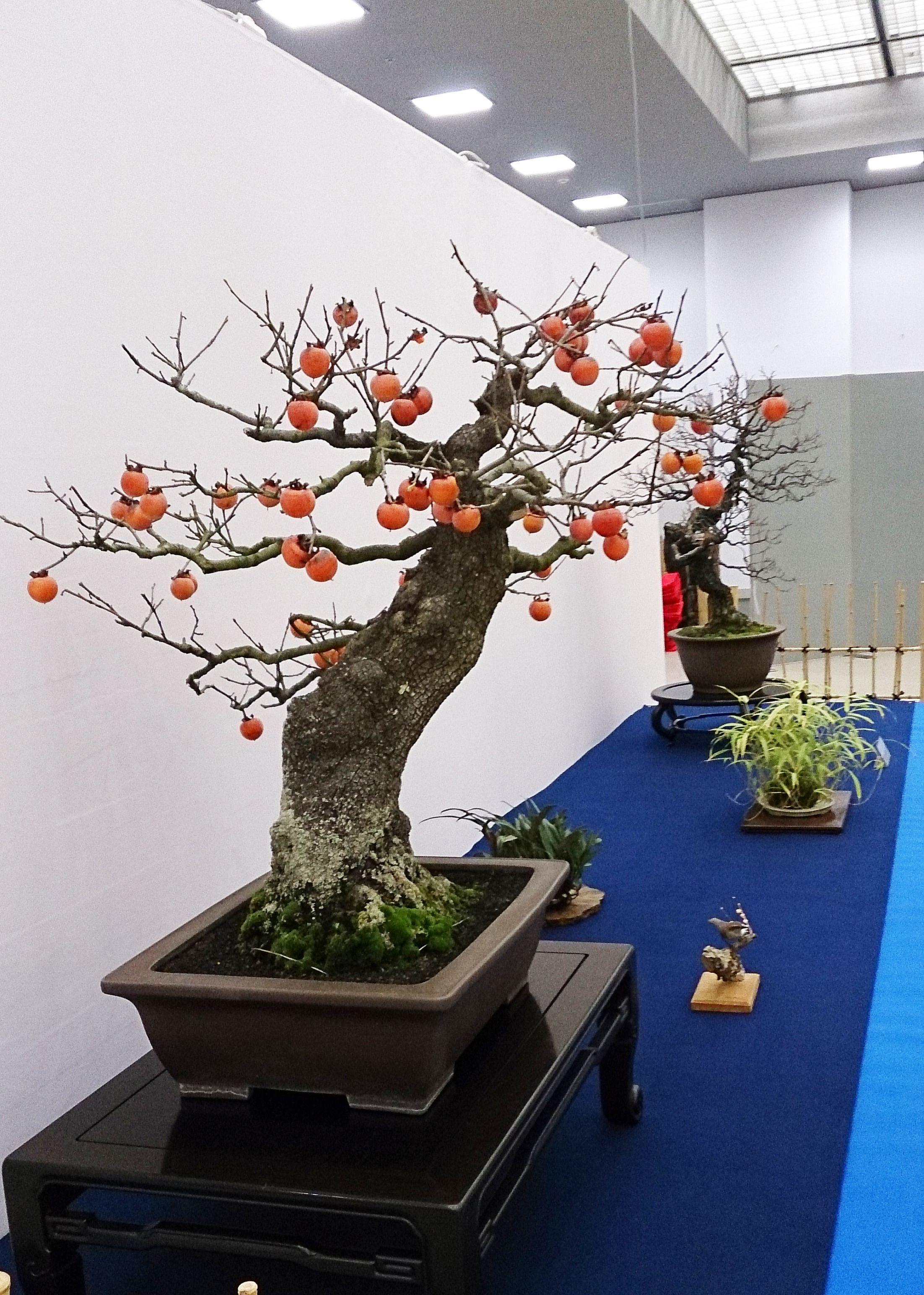 柿 盆栽の画像検索結果 bonsai pinterest bonsai