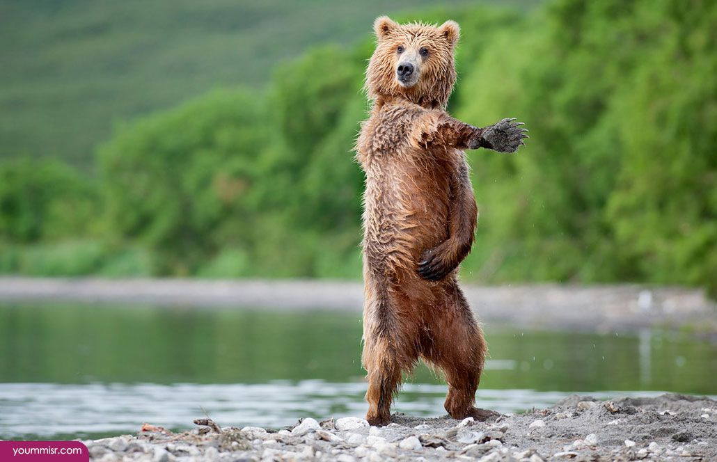 Facts about brown bears 2015 2016 Antarctic animals (4)   Youm ...