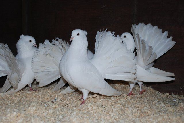 Preloved White Fantail Doves For Sale In Walsall Westmidlands