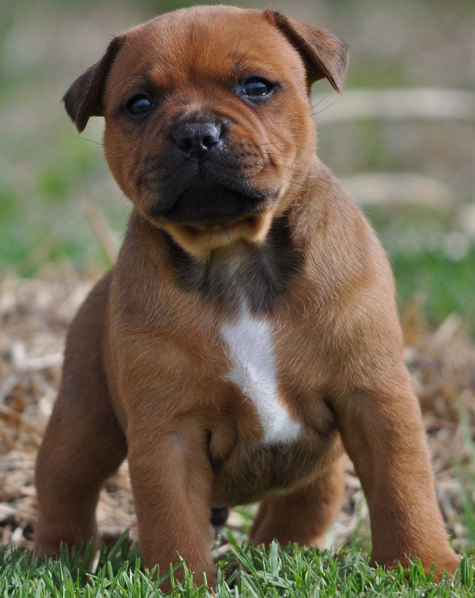 Dogs And Friends Image By Dallabridajean In 2020 Beautiful Dogs Staffordshire Bull Terrier Bull Terrier
