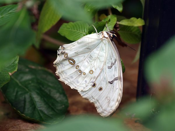 #BeautifulButterflies - The White Morpho is a white butterfly of Mexico and Central America. Both the upper and lower wings are bright white, with some small light brown markings. There is a row of small eyespots on the underside of the hindwings.