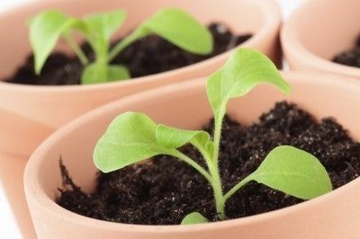 Petunia Seed Propagation How To Start Petunias From Seeds With
