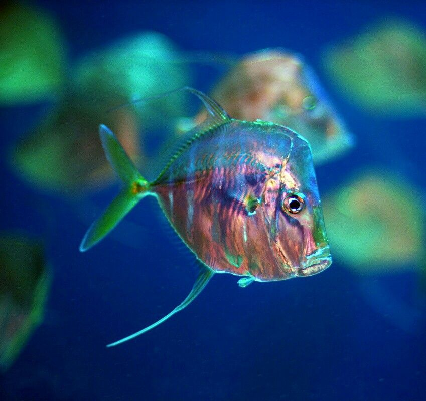 Woooooowwwwww So Pretty Rainbow Fish If You Ve Read The Story Rainbow Fish And The Big Blue Whale You Big Eyed Fish Ocean Animals Underwater Creatures