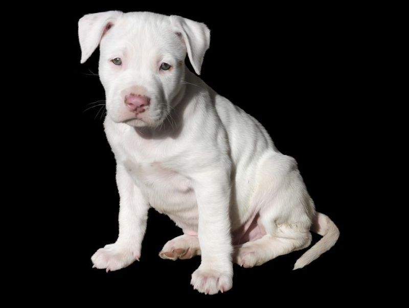 Pocket Pitbull 9 Interesting Facts About These Pocket Bull Dog