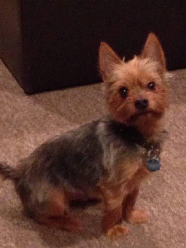 Lost Dog Yorkshire Terrier In Hamden Ct Lostmydoggie Com Losing A Dog Losing A Pet Yorkshire Terrier