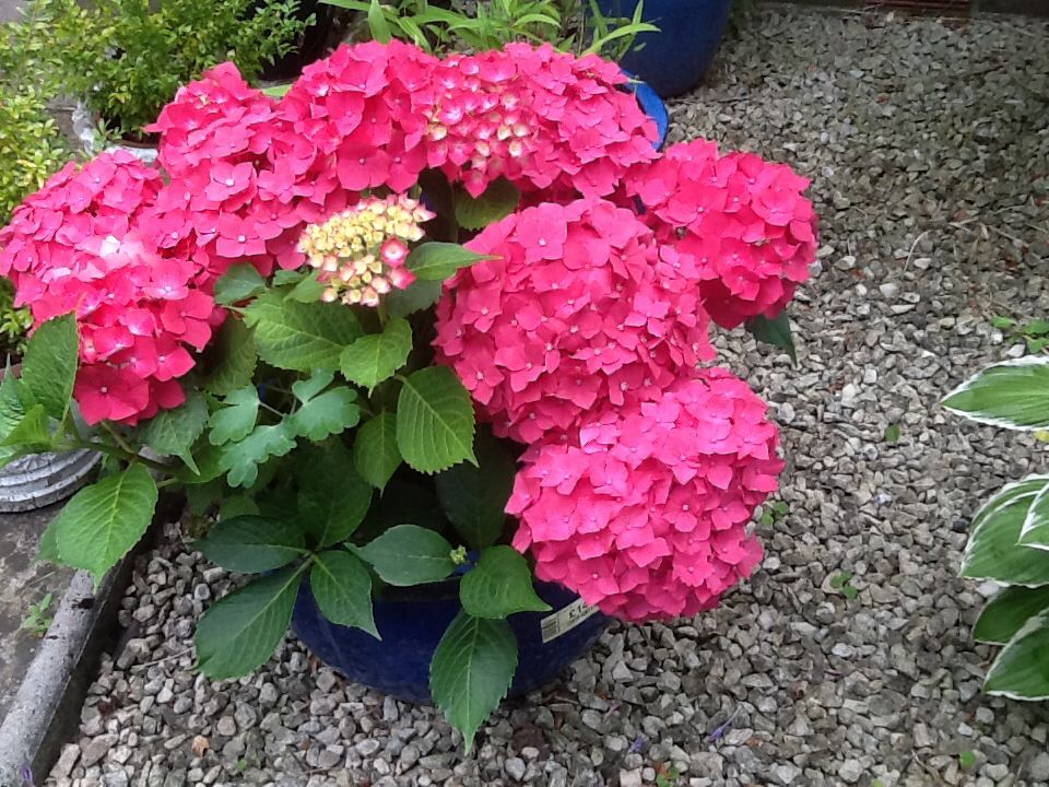 Beautiful Hydrangeas Blooms From My Sisters Garden Hydrangea Bloom Beautiful Hydrangeas Flowers