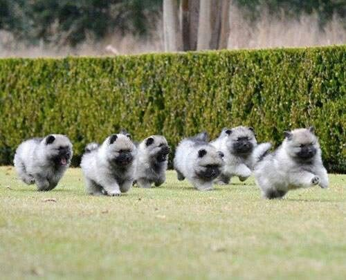 Look out! Here comes a herd of galloping Keeshond puppies ...