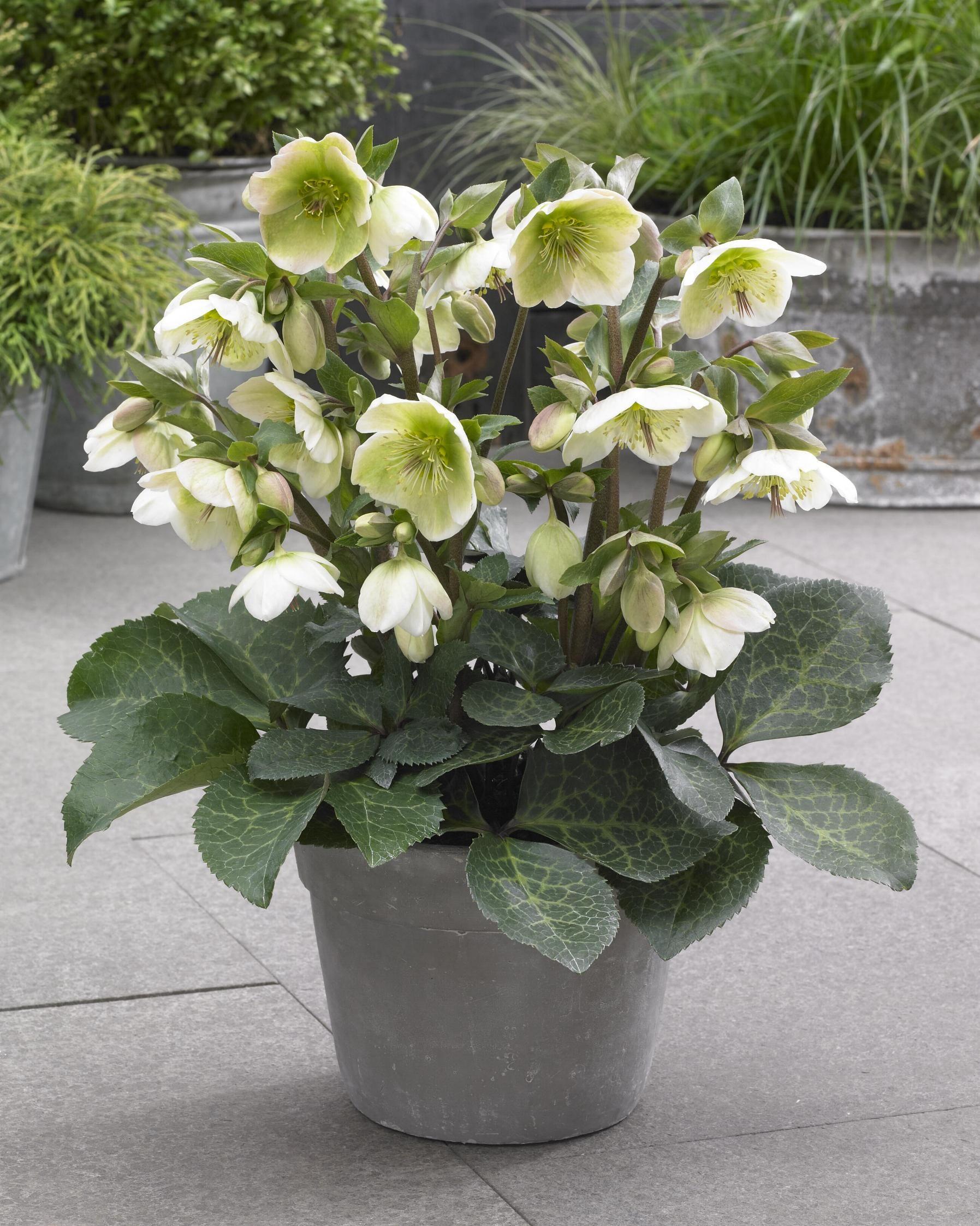 helleborus molly u0027s white bloeiperiode februari april hoogte 25 40