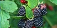 How to Grow Blackberries in a container