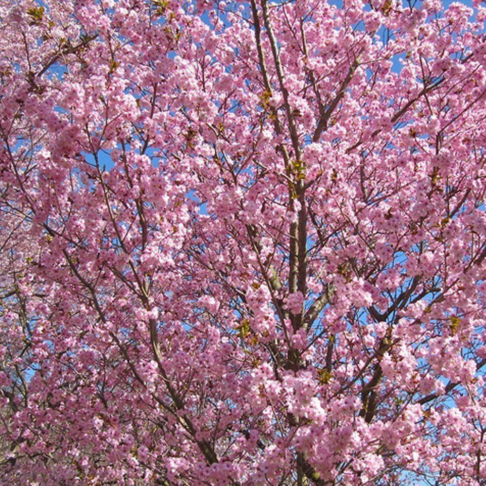 Prunus Beni Yutaka Tree Flowering Cherry Tree Ornamental Cherry Cherry Tree Varieties