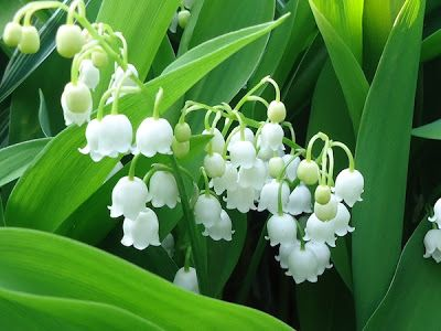 Lily Of The Valley May Lily Convallaria Our Lady S Tears Convall Lily Lily Constancy Ladder To Hea Lily Of The Valley Flower Meanings Flower Beauty