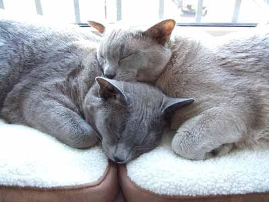 Burmese Blue And Platinum Burmese Cat Cat Breeds Cat Sleeping