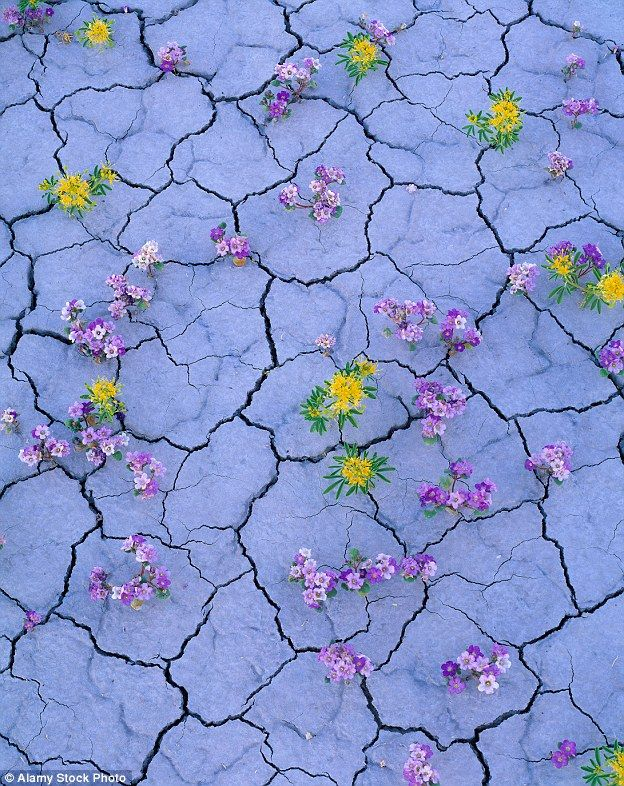 When it rains on the world's driest desert a colour explosion occurs