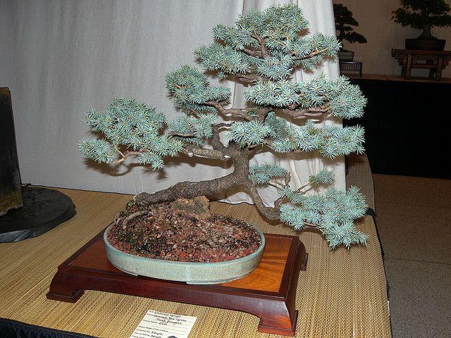Colorado Blue Spruce Picea Pungens Colorado Blue Spruce Colorado Spruce Bonsai Tree