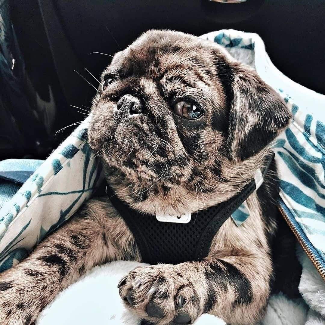 Brindle Pug Baby Pugs Pugs Funny Brindle Pug