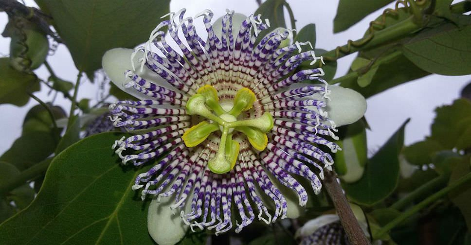 Passiflora Actinia World Of Flowering Plants Passiflora Planting Flowers Evergreen Vines
