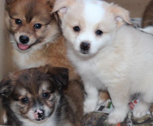 Adorable Pomchi Puppies In City Of Toronto Ontario