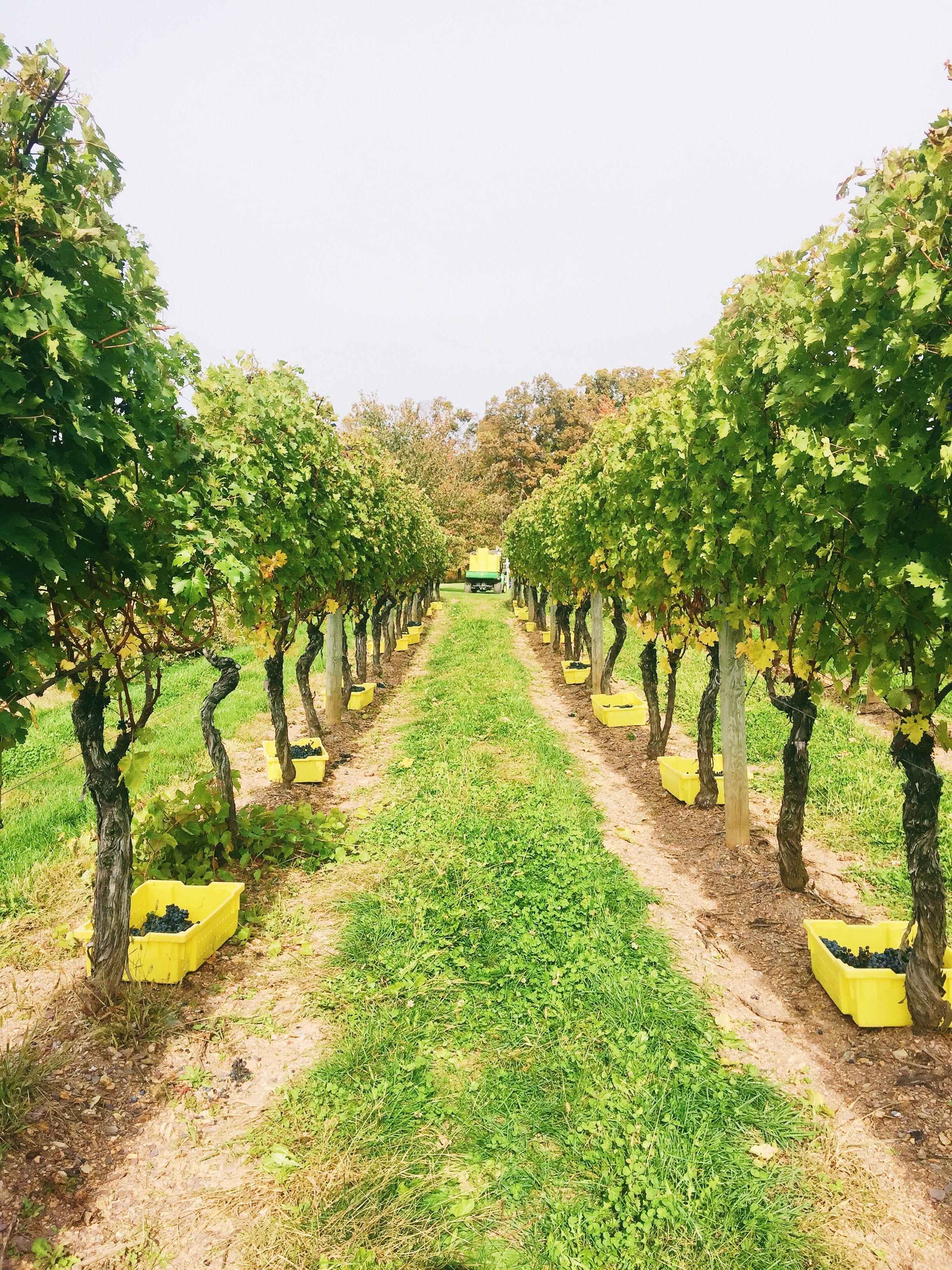 Harvest 2015 Waltz Vineyards Lancaster, PA Vineyard