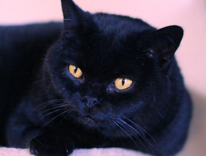 Pin Ot Polzovatelya Sandy Cook Na Doske Cats Britanskaya Korotkosherstnaya Smeshnye Koshki Zhivotnye