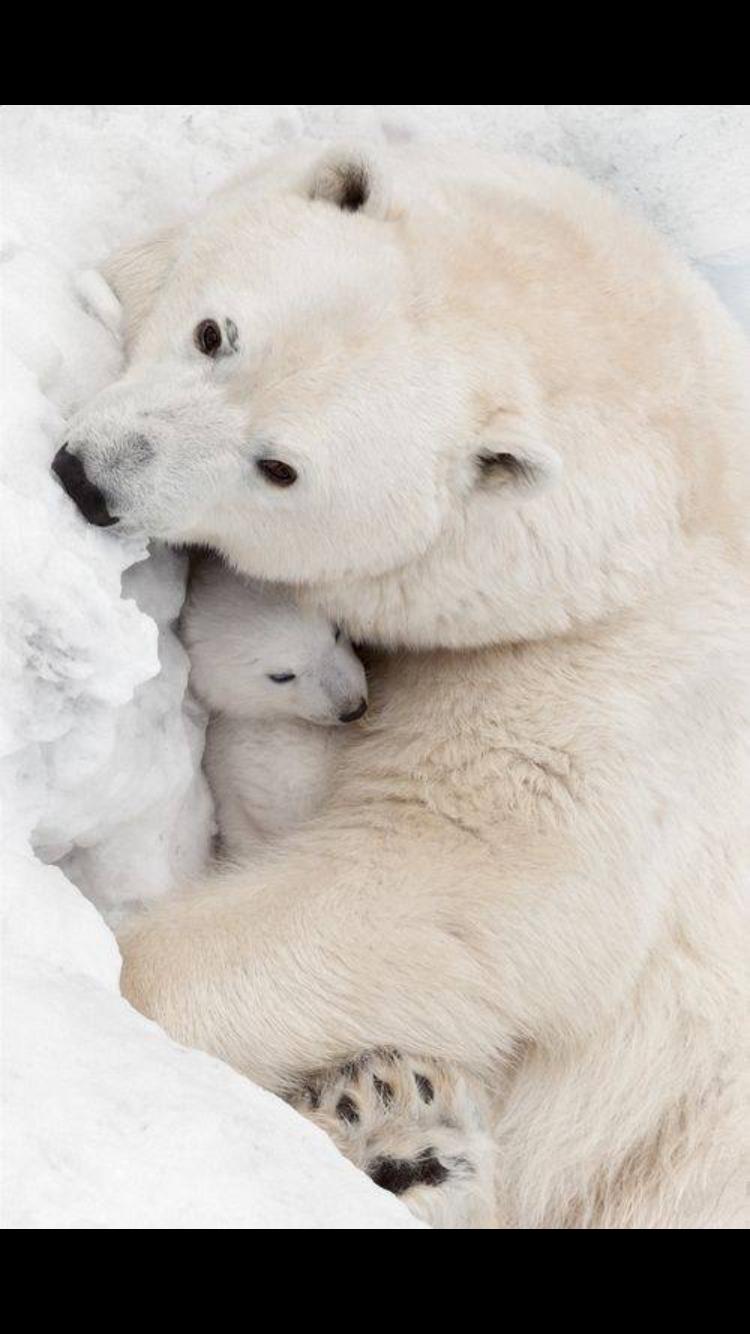 Pin By Mindy Drone On Polar Bears Cute Animals Baby Polar Bears Animals