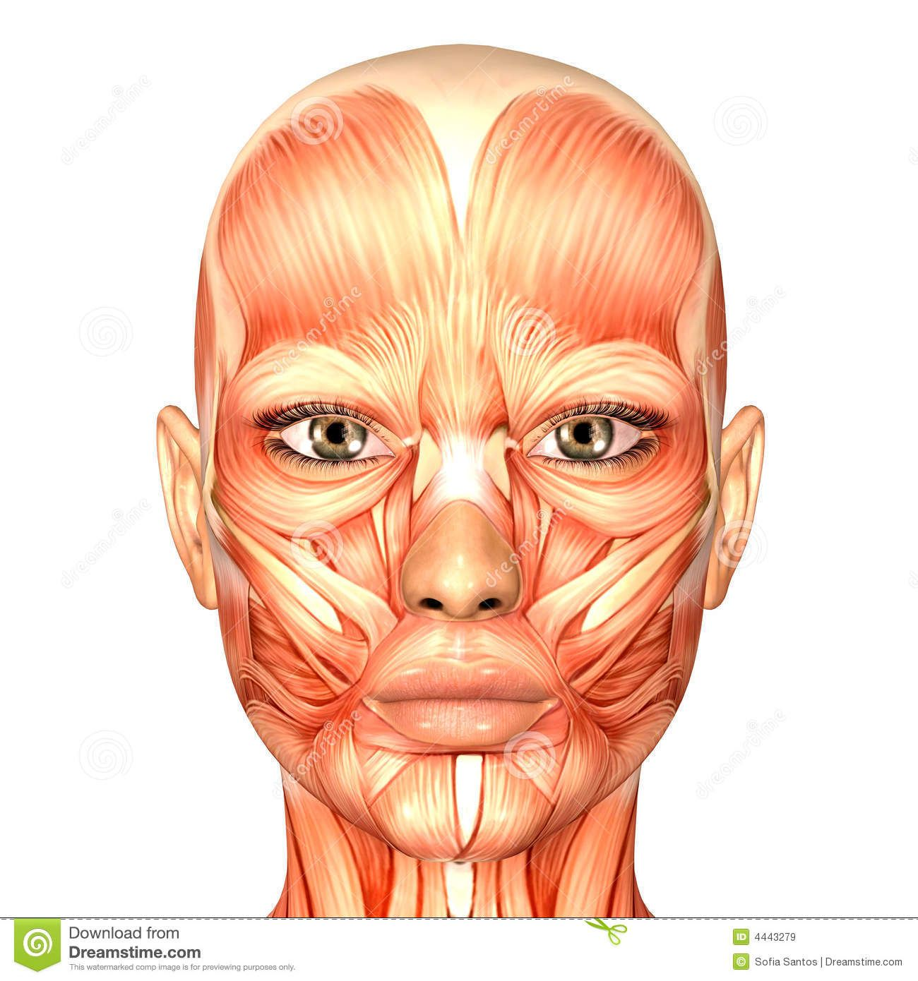 Anatomy face royalty free stock images human anatomy face anatomy face royalty free stock images human anatomy face pooptronica Image collections