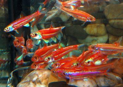 Rainbow shiner assorted freshwater fish pinterest fische for Seltene zierfische