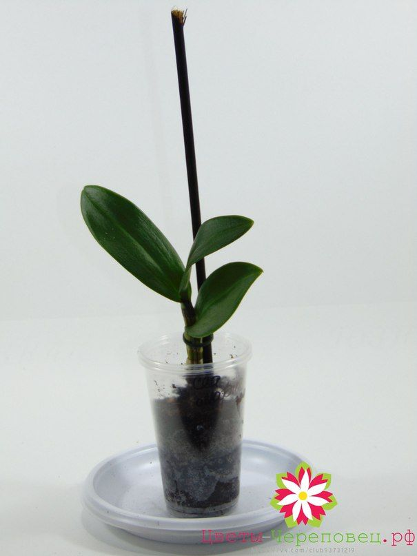 Дендробиум -фаленопсис Са-Нук Санни, деленка, 300р. Отправляем цветы почтой по РФ и СНГ. Цветы Череповец