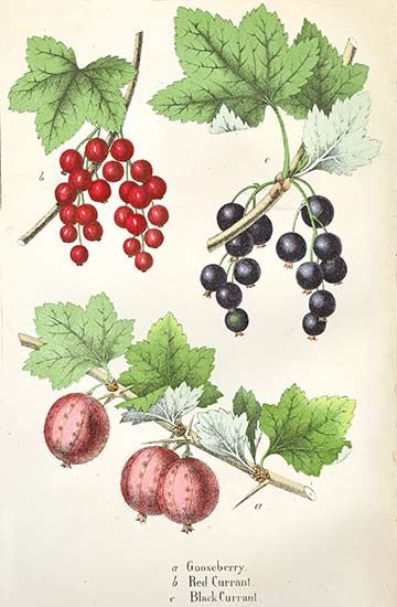 Gooseberry Red Currant And Black Currant From The Vegetable World
