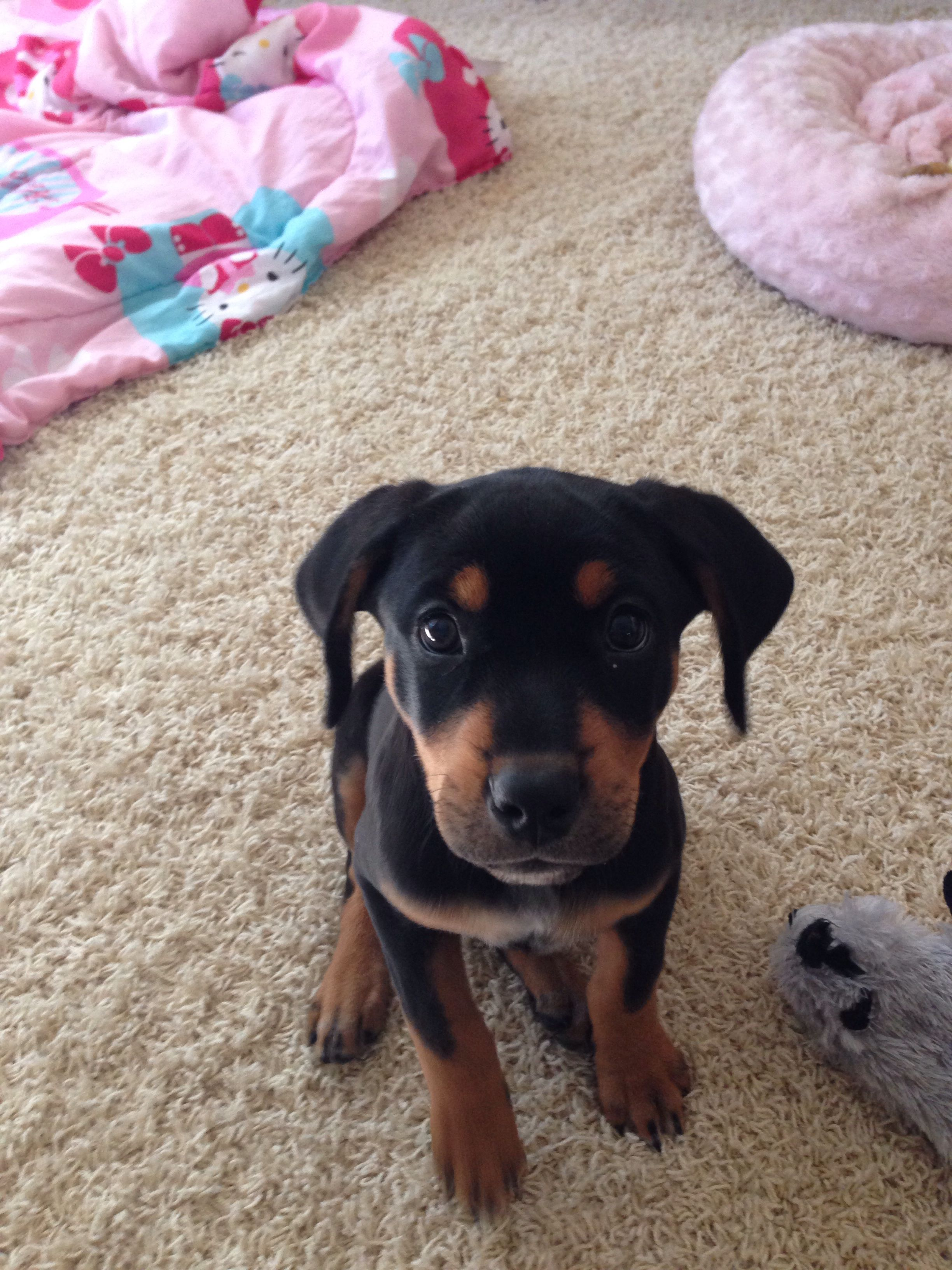 Our Baby Girl Boo Rottweiler Lab Mix Rottweiler Lab Mixes Cute Little Animals Beautiful Dogs