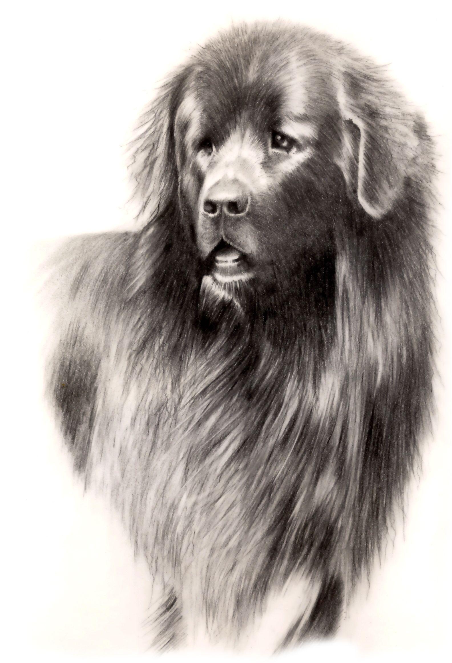 35 very beautiful newfoundland dog pictures - Gorgeous Dido Xxx Pencil By Barbara Simoes Of Newfoundland Dog