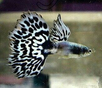 Pin On Guppies Guppy Hybrids And Endlers