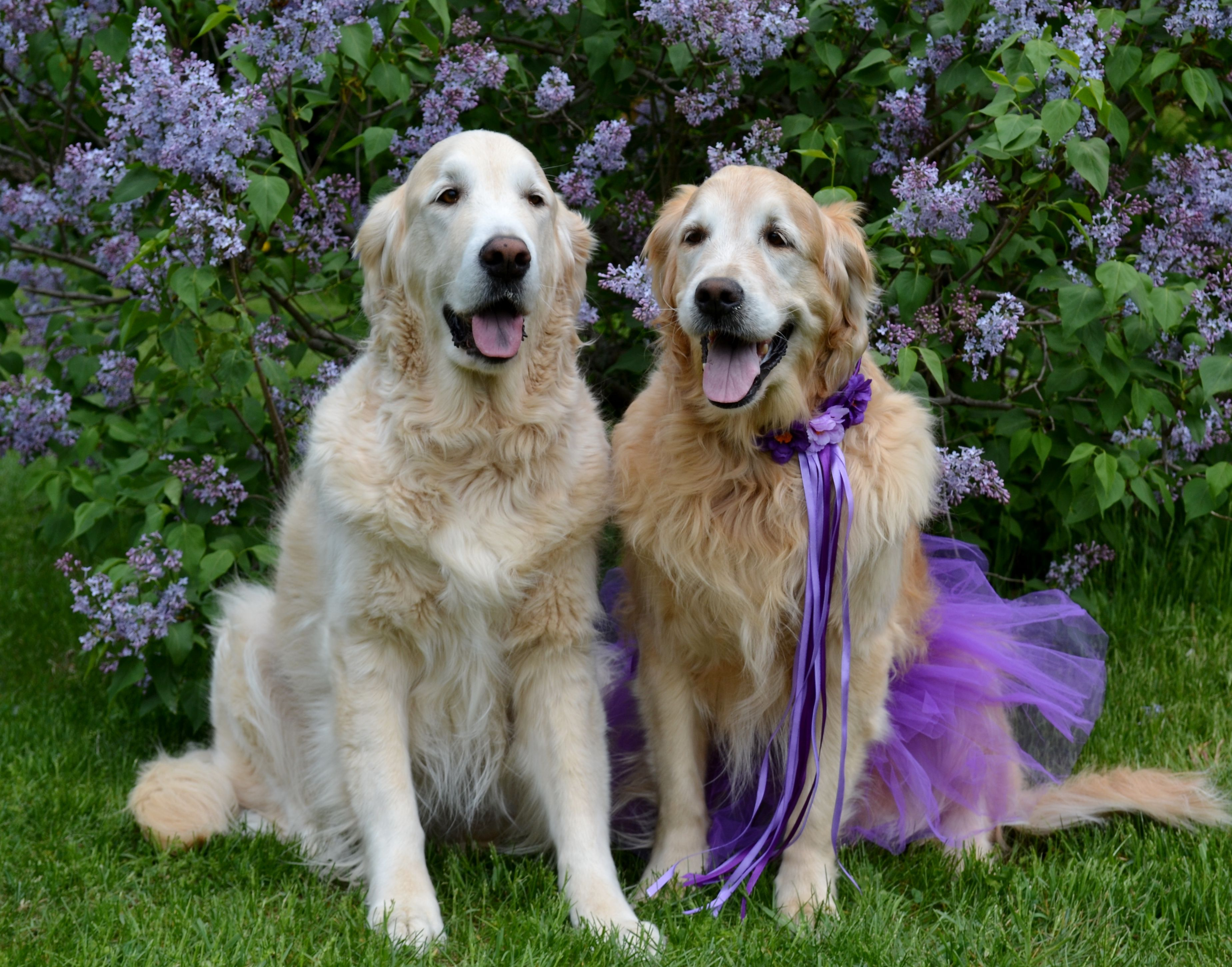 Bentley and Brie Lilac Time