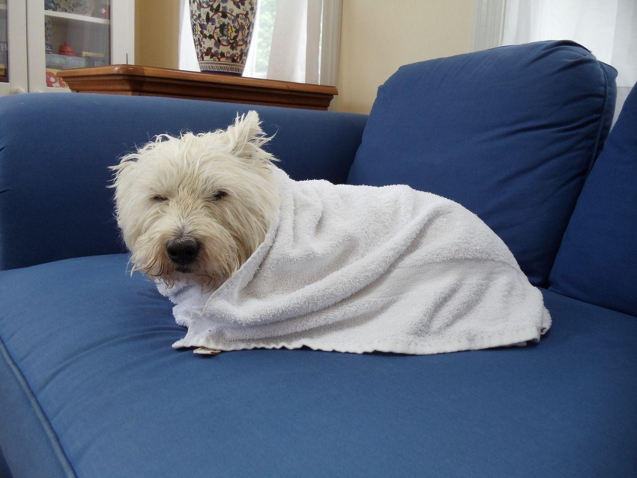Grumpster Westie That Would Be Mr Lum After A Bath Westies Westie Puppies West Highland White Terrier