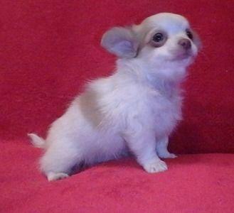 Chihuahua Puppy Chihuahuas Chihuahua Puppies Puppies Chihuahua