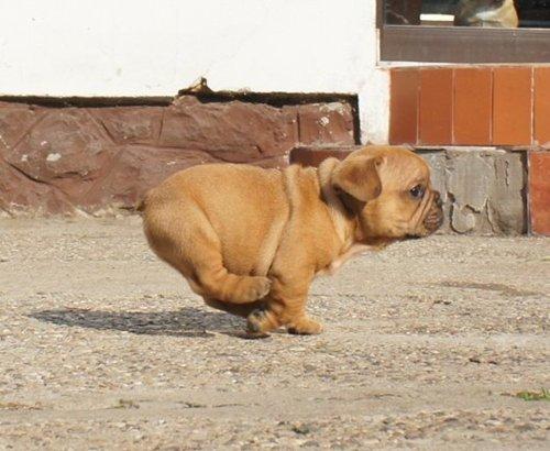 Good Chub Chubby Adorable Dog - df622c50c824e8ab111bfe9939983e96  Graphic_842341  .png