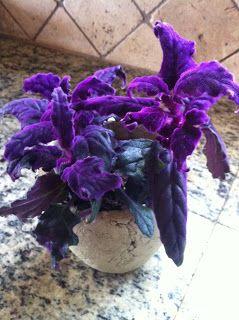 365 Days Of Rainey Purple Passion Plant Plants Purple Plants