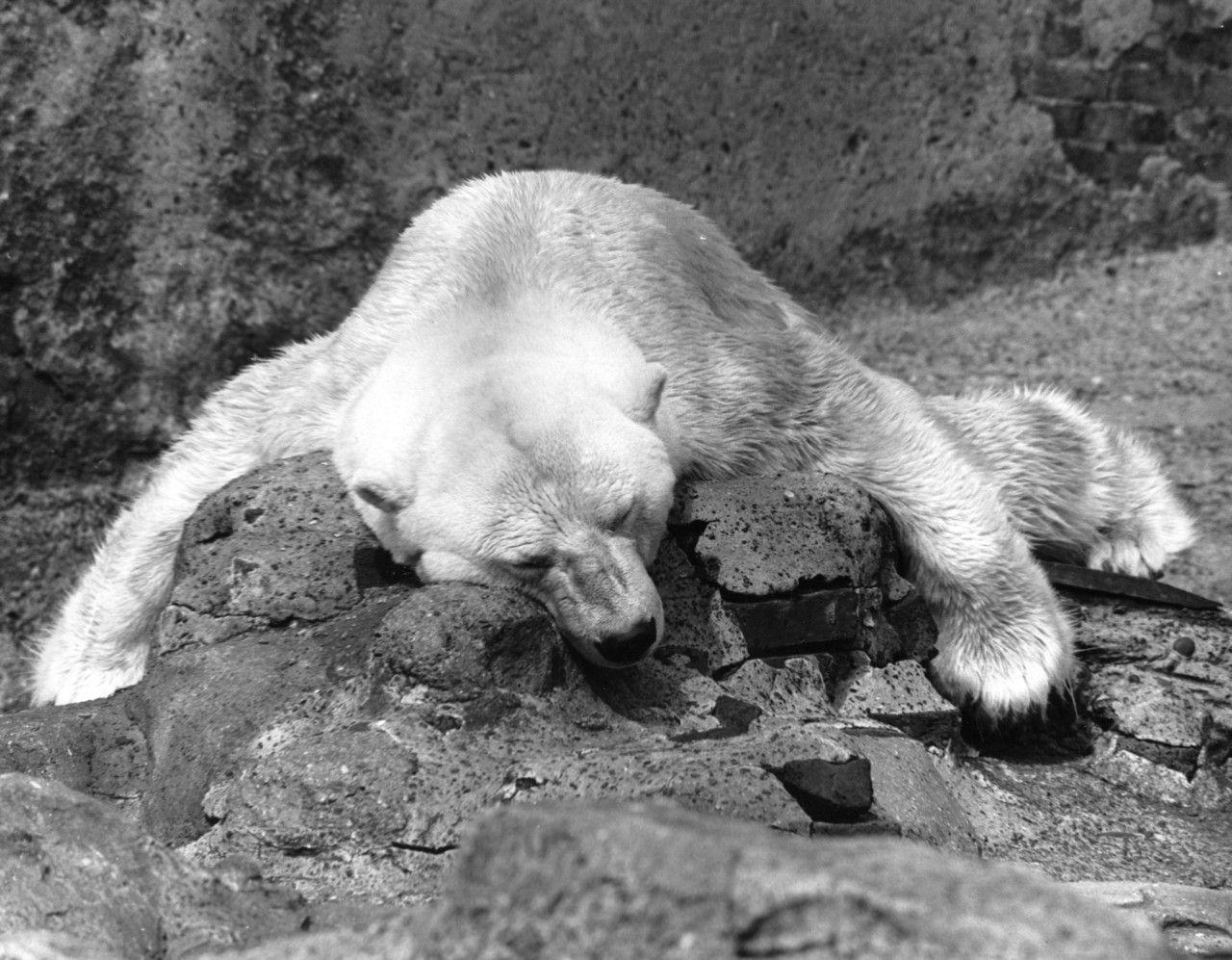 A polar bear fast asleep at London Zoo, 1961.