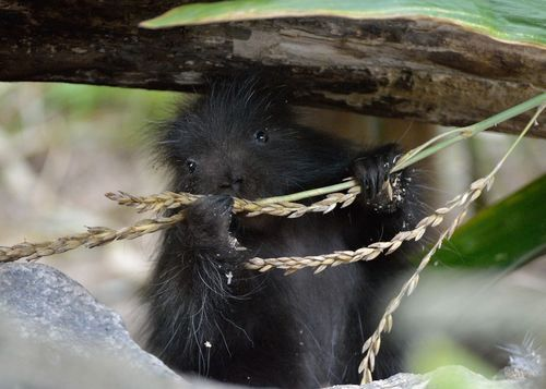 Baby porcupines are really this cute!
