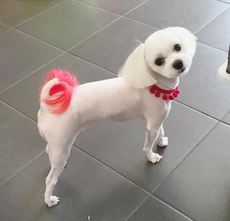 Grooming dog grooming maltese dogs haircuts maltese dogs