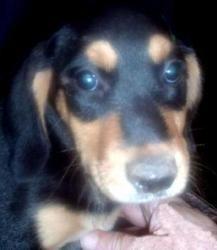 Nola Is An Adoptable Doberman Pinscher Dog In Lenoir Nc