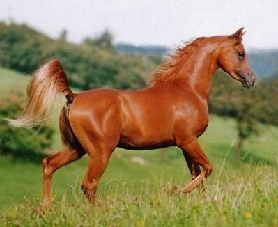 Arabian Horses Most Beautiful Horses Horses Beautiful Horses