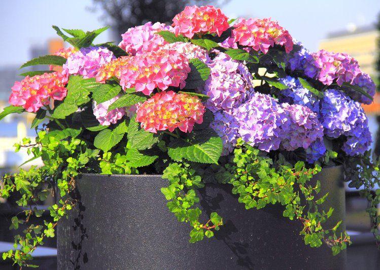 Jak Uprawiac Hortensje W Ogrodzie Zobacz Najlepsze Wskazowki Hydrangea Potted Flower Pots Growing Hydrangeas