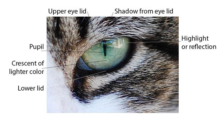 The Simple Guide to Drawing Realistic Cat Eyes | Cat ...