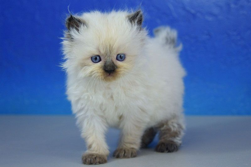 Melodie Seal Point Ragamuffin Cat Kitten from www