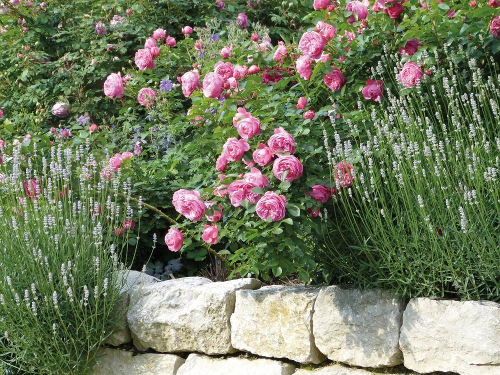 Atemberaubend Rosenbegleiter: Die schönsten Partner | Unser Garten | Garden @PH_18