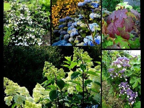 Pin By Cindy Szymanski On Gardening Easy Hydrangea Hydrangea Pruning Hydrangeas