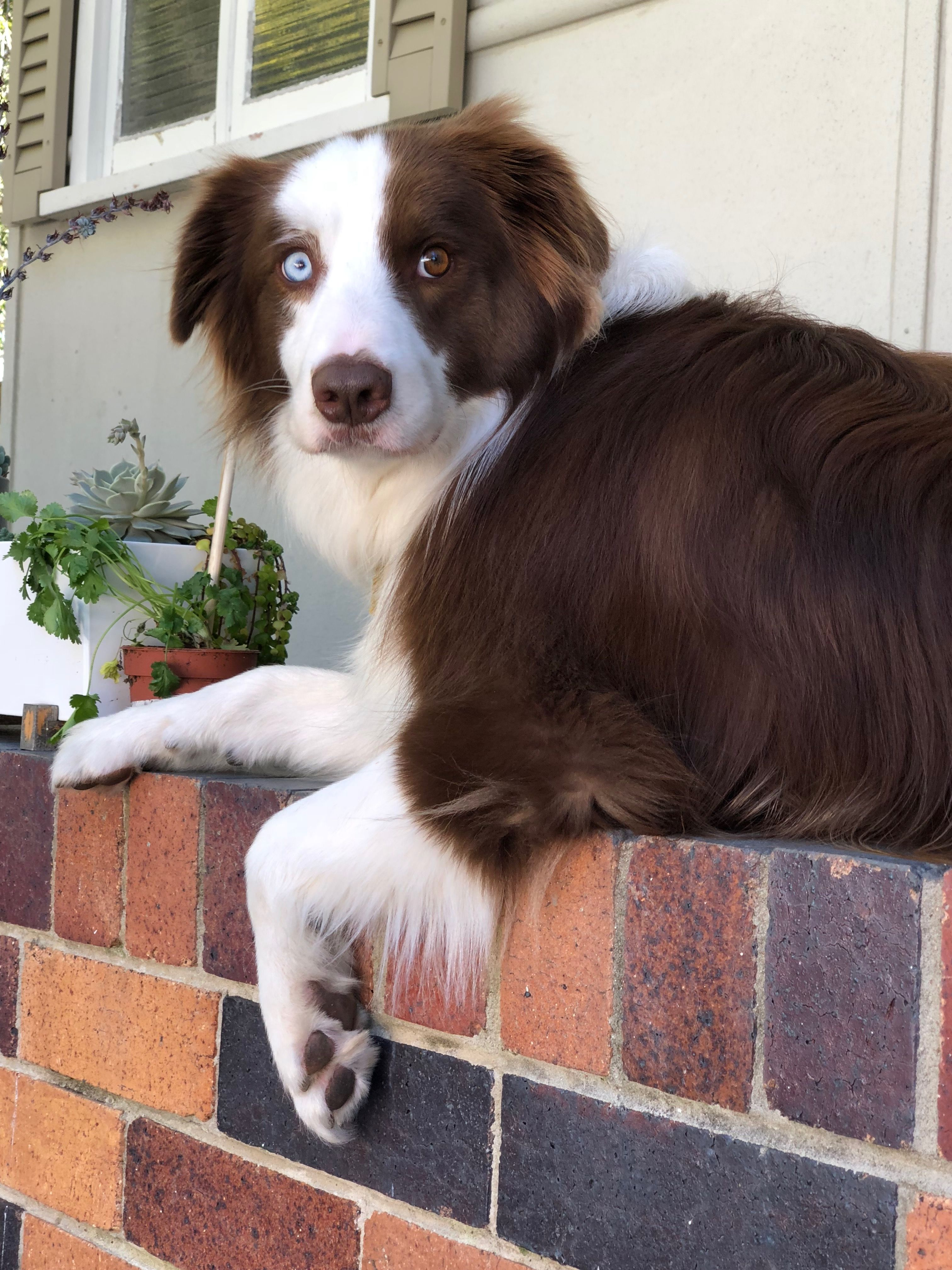 Pin By Ginger Washburn On Dogs And Cats Collie Puppies Collie Border Collie