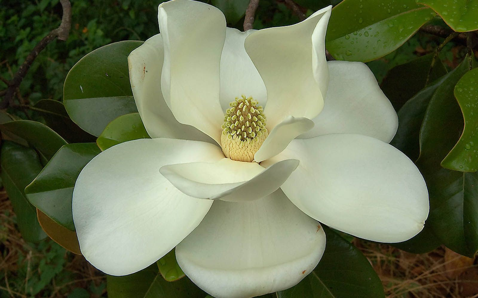Pin By Willie Wood On Cotton And Magnolia Magnolia Flower Flower Essences Flower Photos